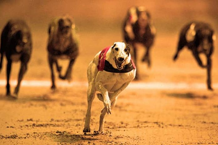Tips And Tricks For Greyhound Betting